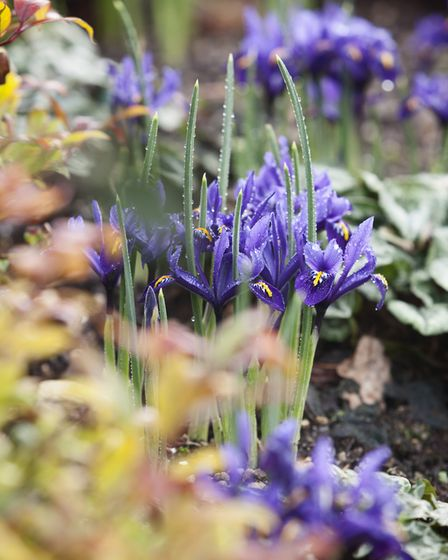 Undated Handout Photo of Iris reticulata. See PA Feature GARDENING Advice Photo. Picture credit shou