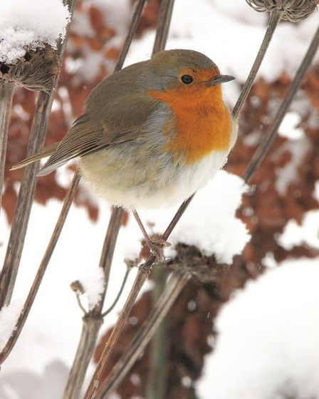 Undated Handout Photo of a robin in winter. See PA Feature GARDENING Advice Photo. Picture credit sh