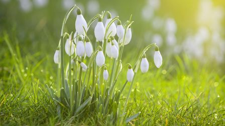 Undated Handout Photo of snowdrops in winter. See PA Feature GARDENING Advice Photo. Picture credit
