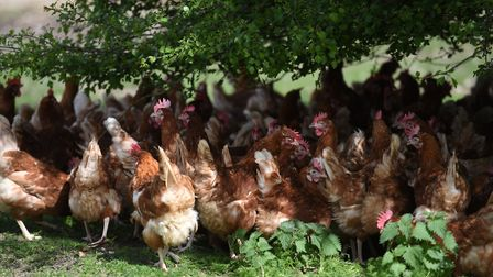 Free range hens from Havensfield Happy Hens at Hoxne. Picture: SARAH LUCY BROWN