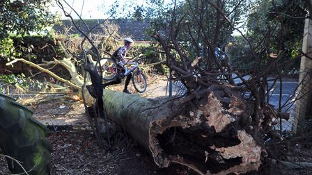 A cyclist climbs over a large tree brought down by gales in Belstead Road, Ipswich. Picture: SARAH