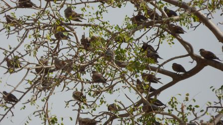 A sight now rare in the UK - a sizeable gathering of turtle doves. These birds were seen in Senegal