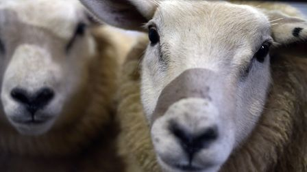 A sheep has been found slaughtered in the Sproughton area. Picture: SARAH LUCY BROWN