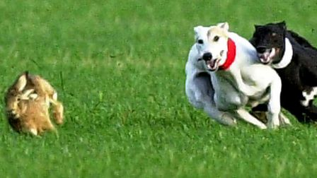 Hare coursing reports are up this year says Essex Police. Picture: ARCHANT LIBRARY