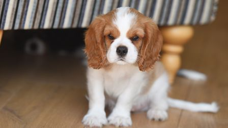 Puppies were also on the list of stolen pets. Stock image of a nine-week-old puppy. Picture: GREGG B