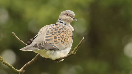Turtle Dove Streptopelia turtur, adult perched on branch. See if you can spot one this weekend. Pict