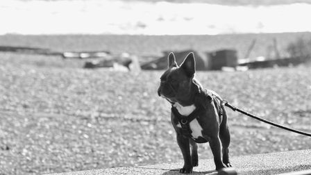 Winner - French bulldog on the sea wall. Picture: HEATHER TANNER