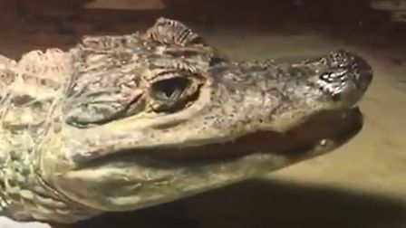 A spectacled caiman crocodile is alleged to have been found during a raid on a home in Southend. Pic
