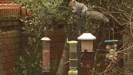 The squirrel encounters the squirrel proof feeder (the squat one with the steel metal roof) for the