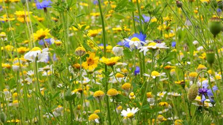 Wild flowers at East Ruston gardens. Picture: MARTIN DENNIS