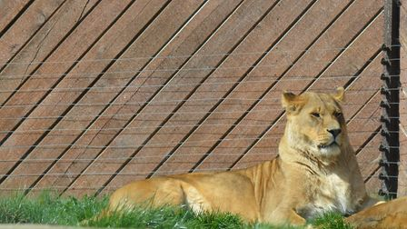 One of the lions at Colchester Zoo. Picture: ELLIOTT FROST/CITIZENSIDE.COM
