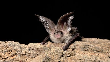 A brown long-eared bat - the species is common and widespread in Suffolk. Picture: HUGH CLARK/BAT CO