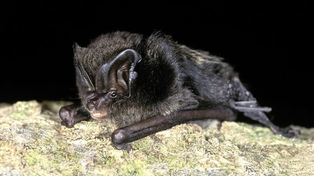 A barbastelle bat - the species is now being recorded more widely in Suffolk thanks to advanced det