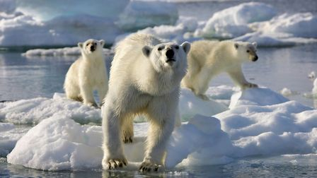 Polar Bears enjoying the midnight sun from the BBC's Frozen Planet which is being screened with a li
