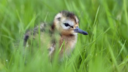 A one-day-old black-tailed godwit chick - it is hoped the species' UK breeding population will will