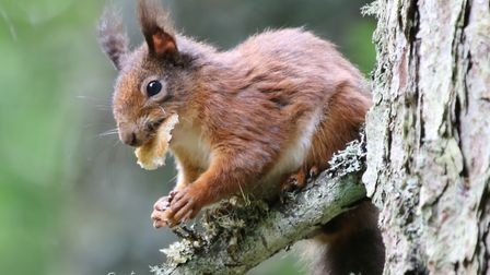 Red Squirrel. Picture: PETER BASH