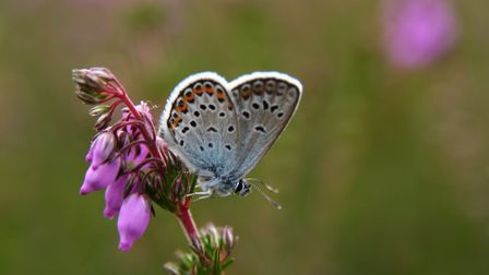 A silver-studded blue butterfly - a highly specialised species that is found on the Suffolk Sandling