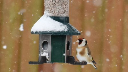 The snow didn't stop this goldfinch finding some food . Picture: JANICE POULSON