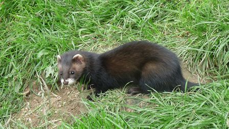 A polecat - the species is making a return to Suffolk. Picture: JOHN DOBSON