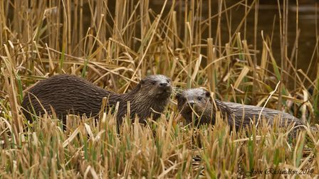 Two otters seen from RSPB Minsmere#s Island Mere Hide. Picture: JOHN RICHARDSON