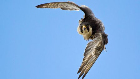 A peregrine falcon - the impresive bird of prey has returned to breed in several East Anglian towns