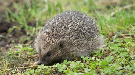Hedgehogs are among the many animals that can be harmed by discarded elastic bands. Picture: MECHA