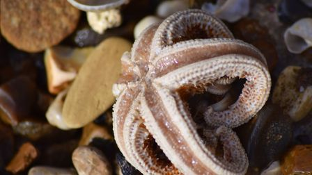 Starfish have washed up on beaches across the region. Picture: PAUL MYNORS