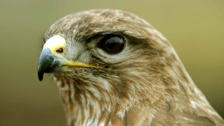 A captive common buzzard - police are investigating the shooting of at least one wild common buzzard