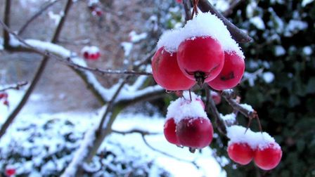 Crab apples in the snow in Woodbridge. Picture: DAWN FORSDIKE