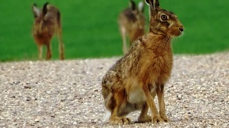 Brown hares on a public footpath in Rattlesden. Picture: PAMELA BIDWELL/CITIZENSIDE