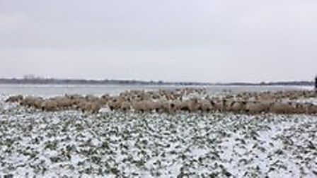 The Benacre sheep flock huddling for warmth during the snowy weather. Picture: TIM CRICK