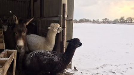 Some of Benacre sheep farmer Tim Crick's other animals take shelter during the snowy weather. Pictur