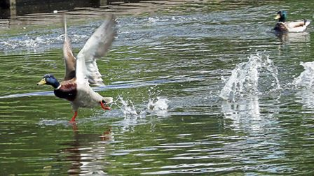 Ducks in motion at Flatford. Picture: MICK WEBB