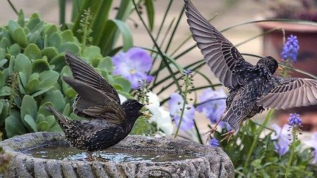 Starlings on the move. Picture: NICK LEE
