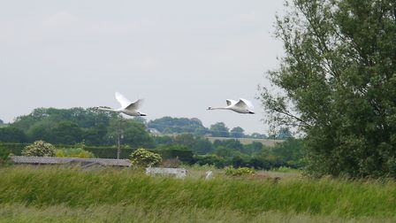 Swans on water and in flight at Lakenheath Fen, where a wildlife event is being held this spring. Pi