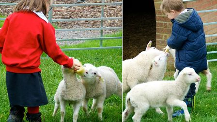Lamb feeding at Layer Marney Tower. Picture: LAYER MARNEY TOWER