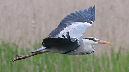 A grey heron - the species is to be studied in a British Trust for Ornithology census this spring. P