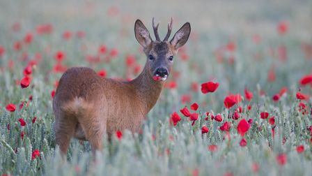 A roe deer amid poppies in a Suffolk field. Picture: KEVIN SAWFORD