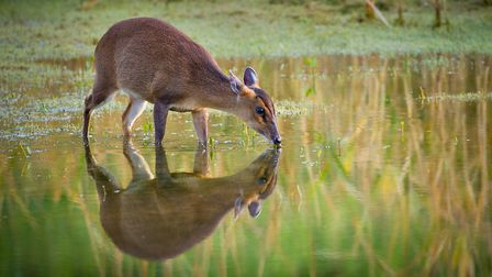 A muntjac deer takes a drink. Picture: ROBIN STANBRIDGE