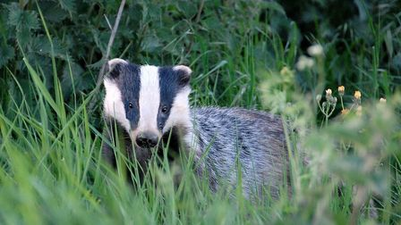 A badger - the species was featured by Martin Hancock at the conference. Picture: ALAN BALDRY