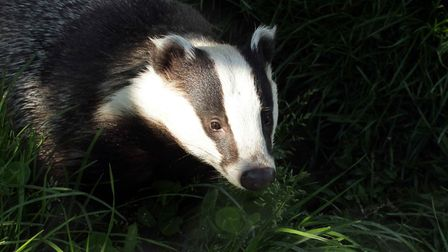 A badger sett has closed Flowton Road in Somersham. Picture: BRIAN SMITH