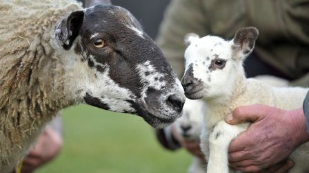 A ewe at Easton Farm Park has given birth to quadruplet lambs. Picture: SARAH LUCY BROWN