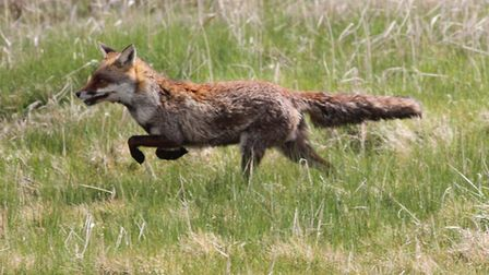Foxes are increasingly likely to be seen in urban areas and will certainly feature strongly in the P