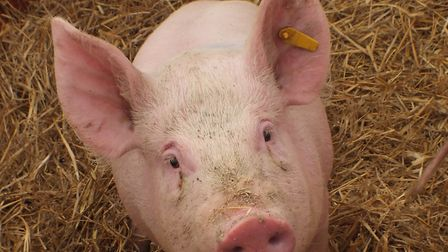 The Archers radio soap doesn't use live animal actors, sorry, pig. Picture: KATHERINE DALEY