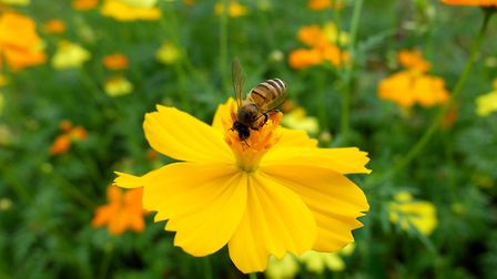 Help the honeybee with the right planting. A honeybee on a flat, open flower.