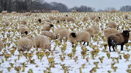 Sheep near Waldringfield in the recent snowy weather. Picture: SARAH LUCY BROWN