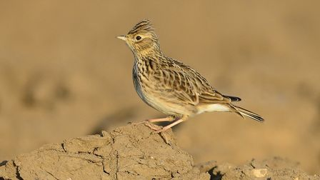 A skylark - a campaign by the Ravenswood Wildlife Group in Ipswich aims to help the ground-nesting s