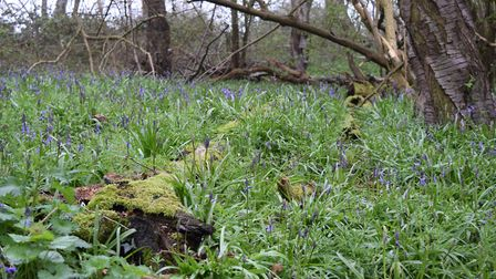 Assington woodland. Picture: ANDREW MUTIMER