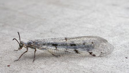 An adult antlion - one of the specialities of Dunwch Heath. Picture: ROBIN HARVEY