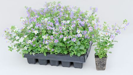 A tray of bacopa plug plants. Picture credit: Thompson & Morgan/PA.